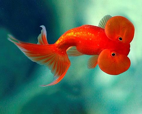 Пузыреглаз золотая рыбка