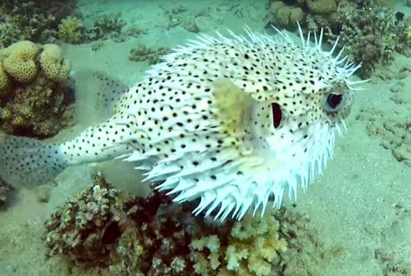 Рыба-еж длинноиглая (Diodon holacanthus)