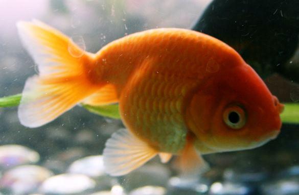 Ранчу золотая рыбка