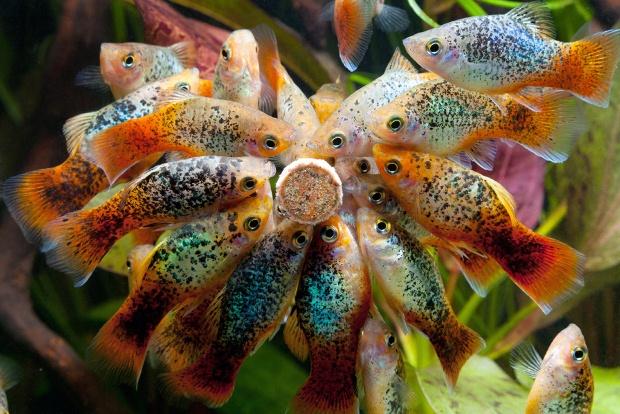 Рыбка пецилия Аквариумные рыбки