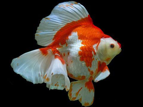 Рюкин золотая рыбка