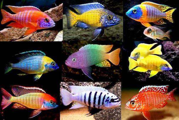 Семейство Цихловые или цихлиды (Cichlidae)