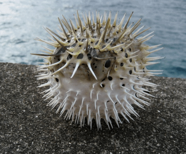 морская рыба-еж