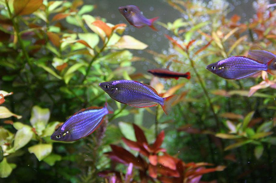 неоновая радужница в аквариуме