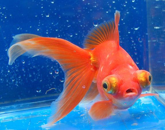 телескоп золотая рыбка